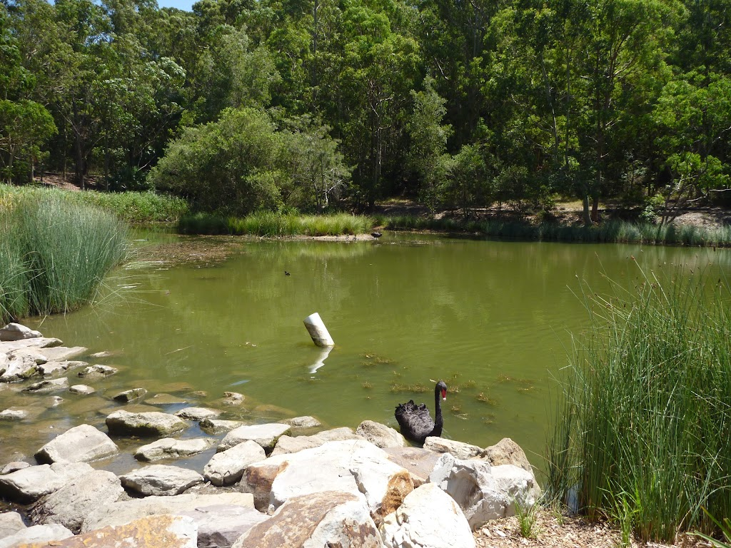 Black swan in large pond in Richley Reserve