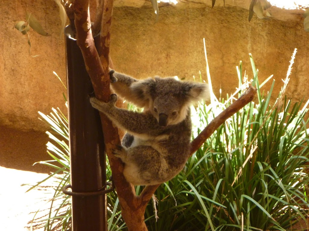 Koala at the Wildlife Exhibits at Blackbutt Reserve