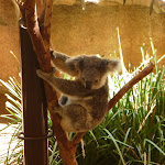 Koala at the Wildlife Exhibits at Blackbutt Reserve (402148)