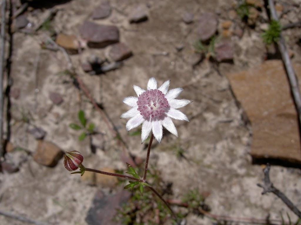 The rare Pink Flannel Flower (Actinotus forsythii) AKA Ridge Flannel Flower