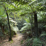 Ferns on the Six Foot Track below Nellies Glen (411269)