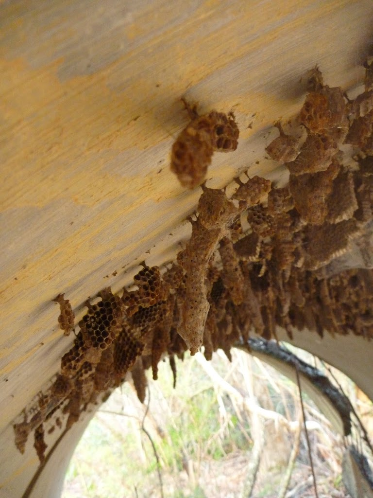 Wild bee hive near Devils Hole Creek (411608)