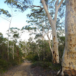 Scribbly gums south of Megalong Village site