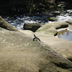 Water Dragon beside Waitara Creek (4977)