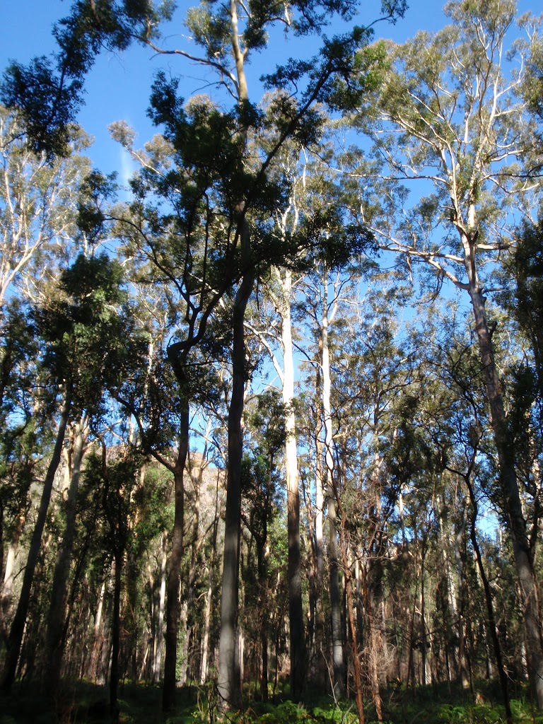 Blue Gum Forest (49835)