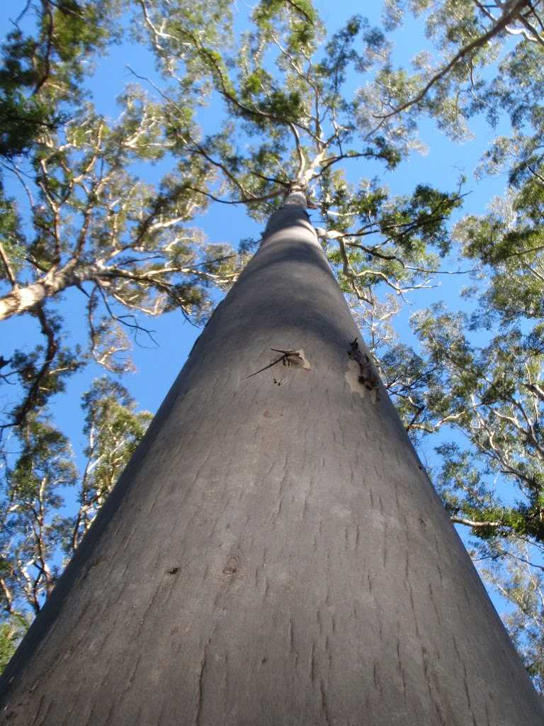 Blue Gum in the Forest