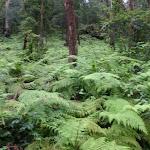 The Rosemead trail goes through dense fern forest