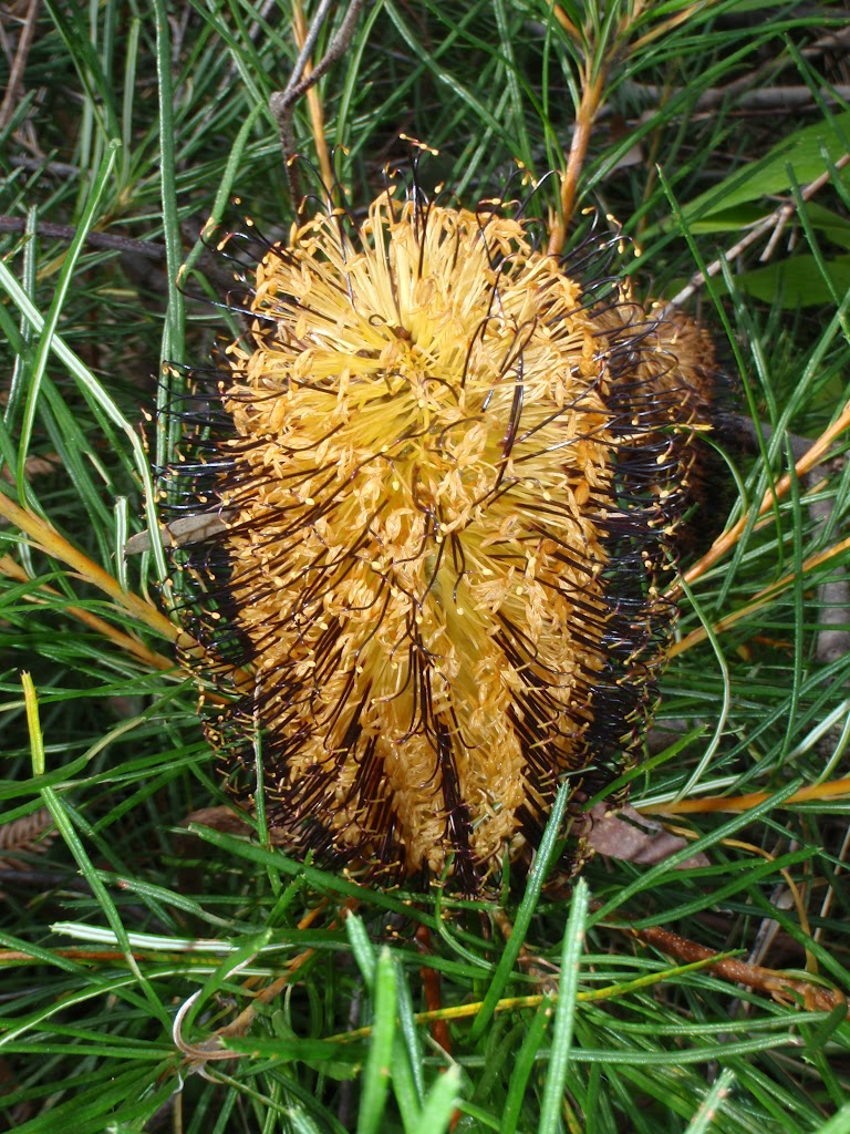 Banksia along the Grose River (50309)