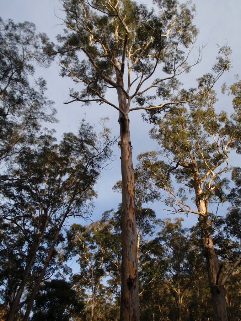 Eucalypts in the Grose Valley (50528)