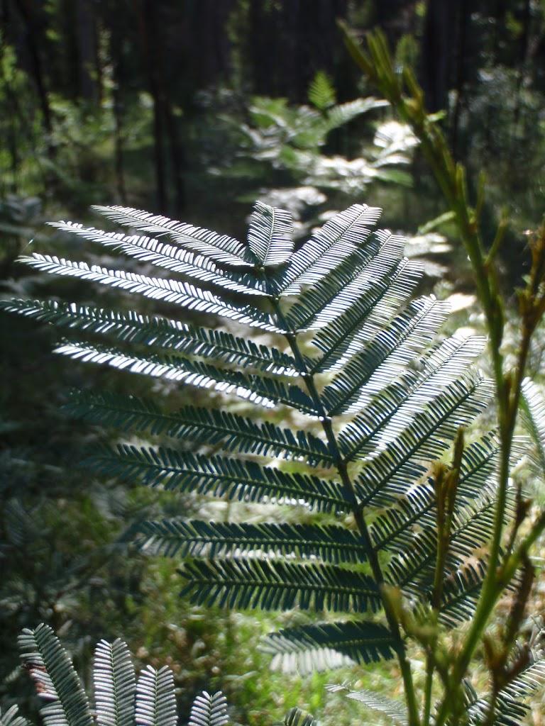 Acacia in Acacia Flats (50885)