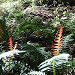 Red ferns (52118)