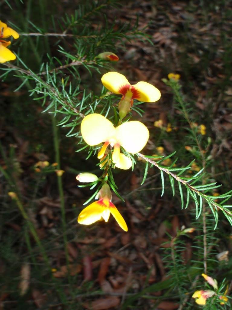 Pea Flower (Dillwynia elegans)
