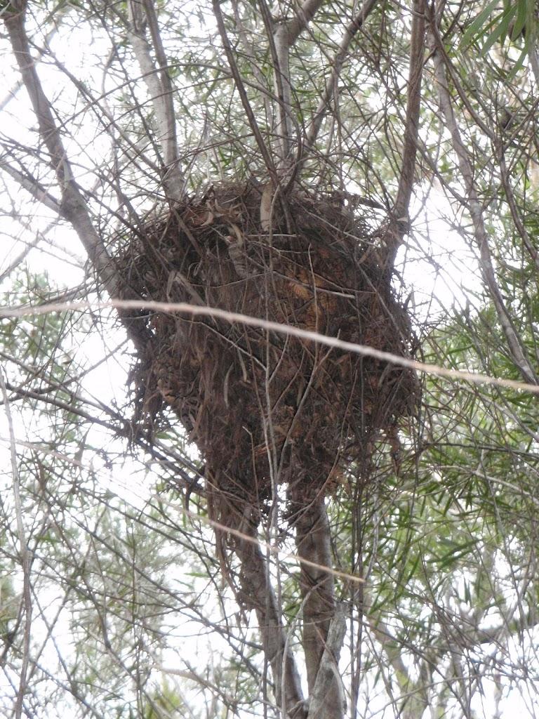 Birds Nest near Deburghs Bridge