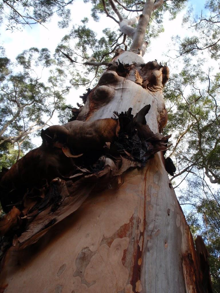 Eucalyptus Tree (54821)