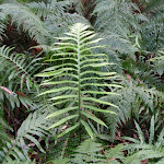 Fern in ferns (56210)
