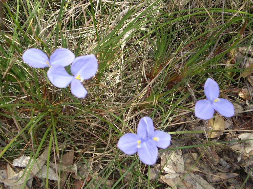 Patersonia sericea (5656)