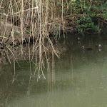 Ducks in pond (60386)