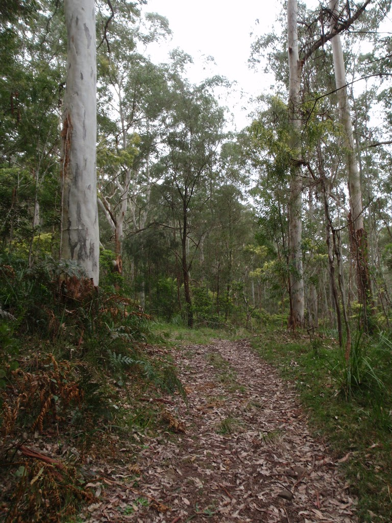 Blue gums beside the management trail (60941)