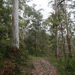 Blue gums beside the management trail (60941)