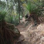 Grass trees along track near Berowra Creek (71476)