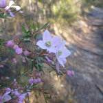 Pink Boronia in flower