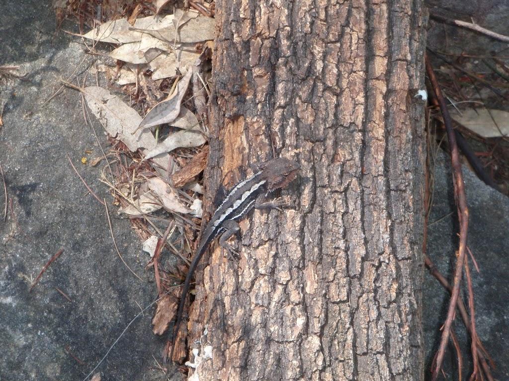 Lizard along track (74160)