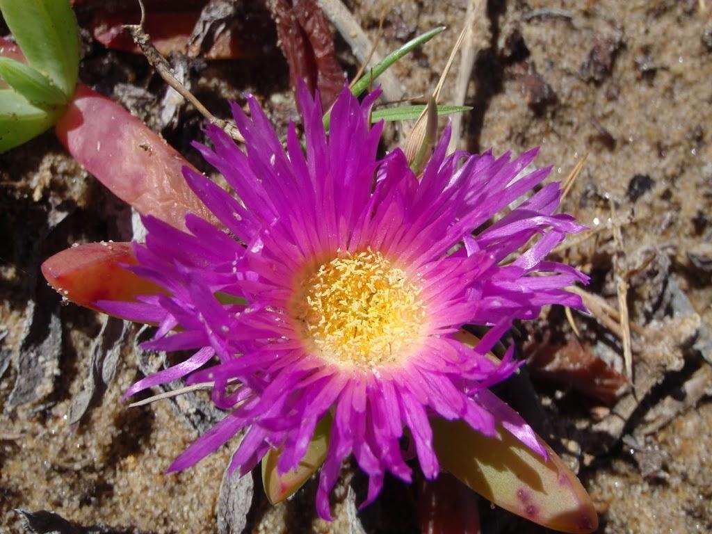 Disphyma crassifolium (Pigface) flower in spring