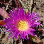 Disphyma crassifolium (Pigface) flower in spring (75825)