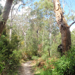 Track through some nice bushland towards Pennant Hills
