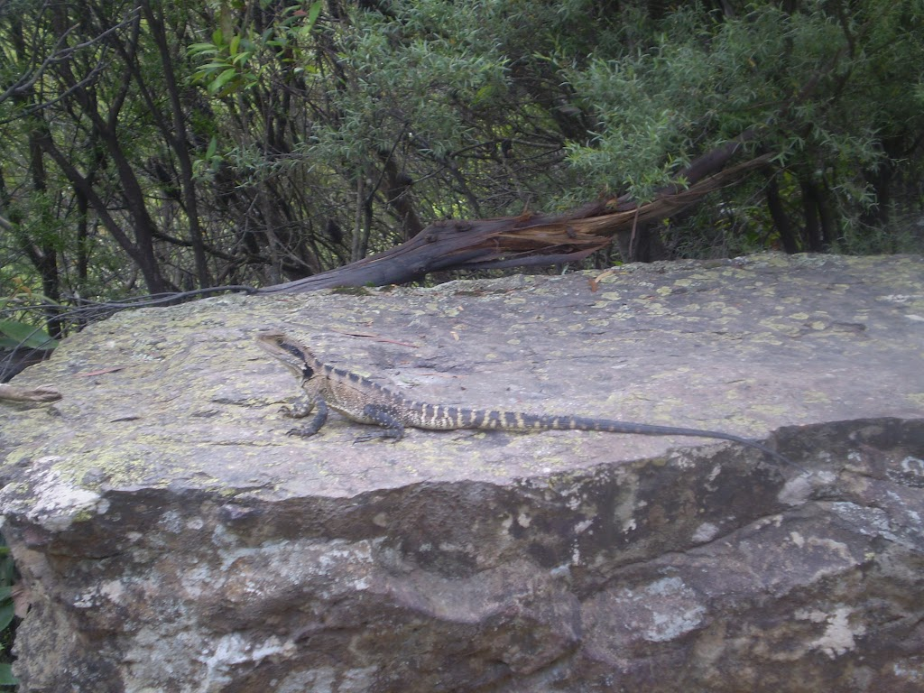 One of the lizards along the trail that you might see