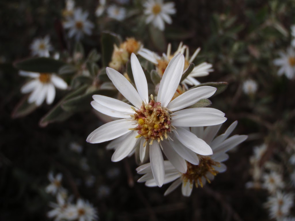 Silver Snow Daisy (Celmisia Longifolia) (83281)