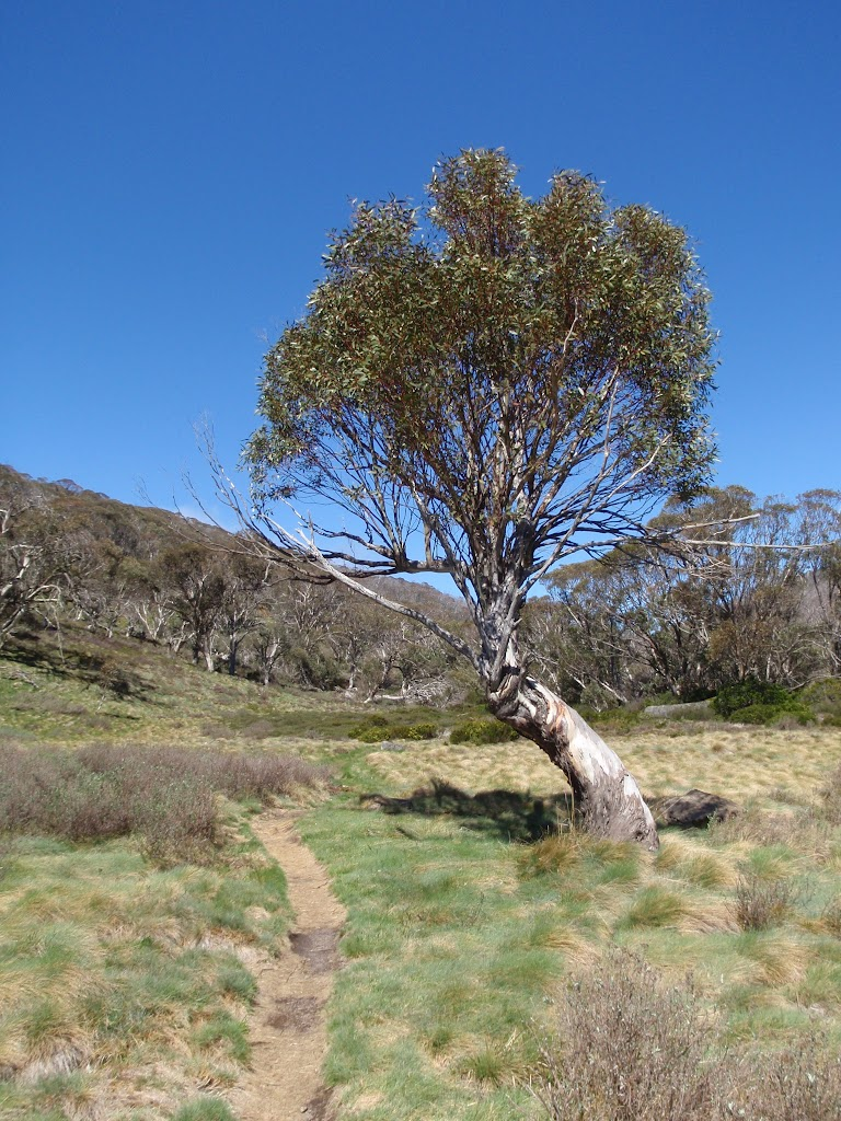 Lone snow gum in the Thredbo River Valley (83596)