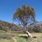 Lone snow gum in the Thredbo River Valley
