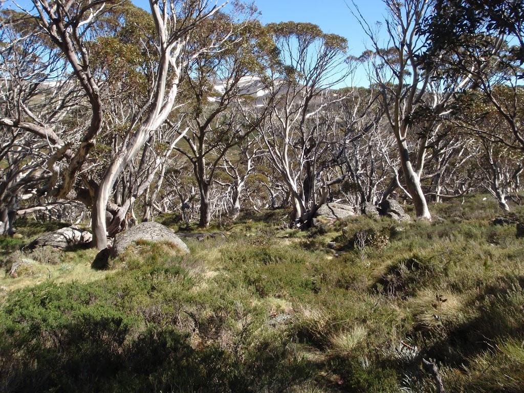 snowgum forest