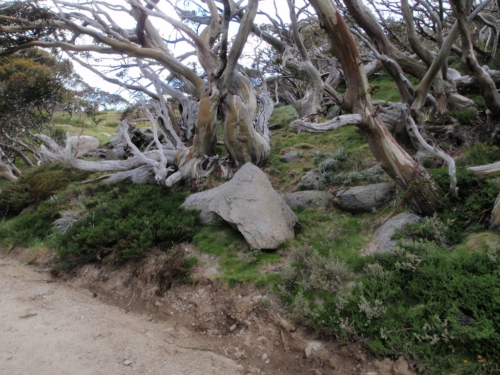 Snow gums beside the Summit Trail
