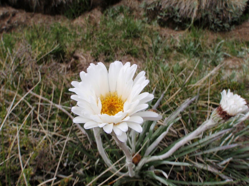 Celmisia Longifolia (Silver Snow Daisy)