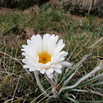 Celmisia Longifolia (Silver Snow Daisy) (96253)