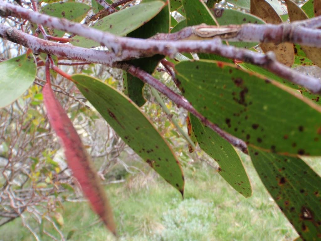 Snow Gum leaf
