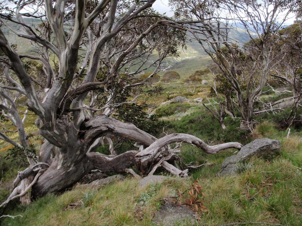 Interesting alpine trees on Summit Walk