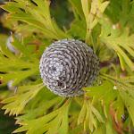 Seed pod in heath (98477)